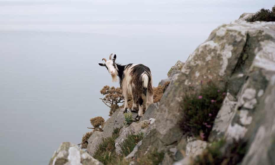 A feral goat in Lynton, Devon
