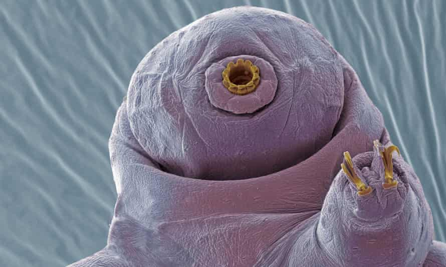 A scanning electron micrograph of a tardigrade, which can exist in a cryptobiosis state between life and death.
