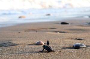 A newly hatched loggerhead turtle at Davultepe beach in Mersin, Turkey