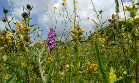 Yellow Rattle and orchids in a wildflower meadow.
