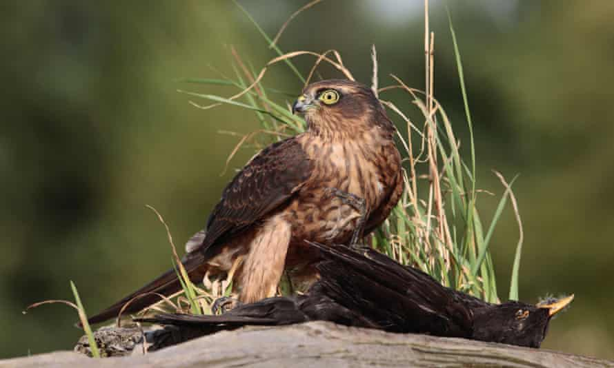 Young male sparrowhawk (Accipiter nisus) with blackbird on stump.