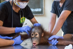 Kebaco having injections before the release
