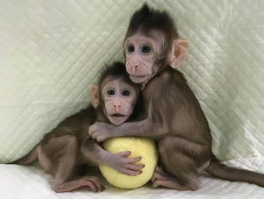Long-tailed macaques monkeys Zhong Zhong and Hua Hua – the first primates to be cloned using transferred DNA.
