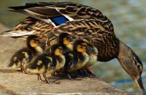 Ducks Photograph: Jacob Ball/GuardianWitness