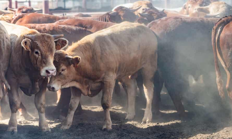 Cattle at an Israeli feedlot