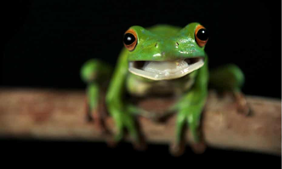 A white-lipped tree frog
