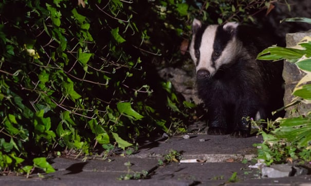 Badger cull extended in England with more than 60,000 in line of fire