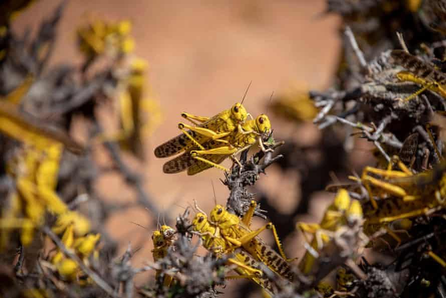 Desert locusts are seen mating in Lekiji, in Kenya's Samburu County