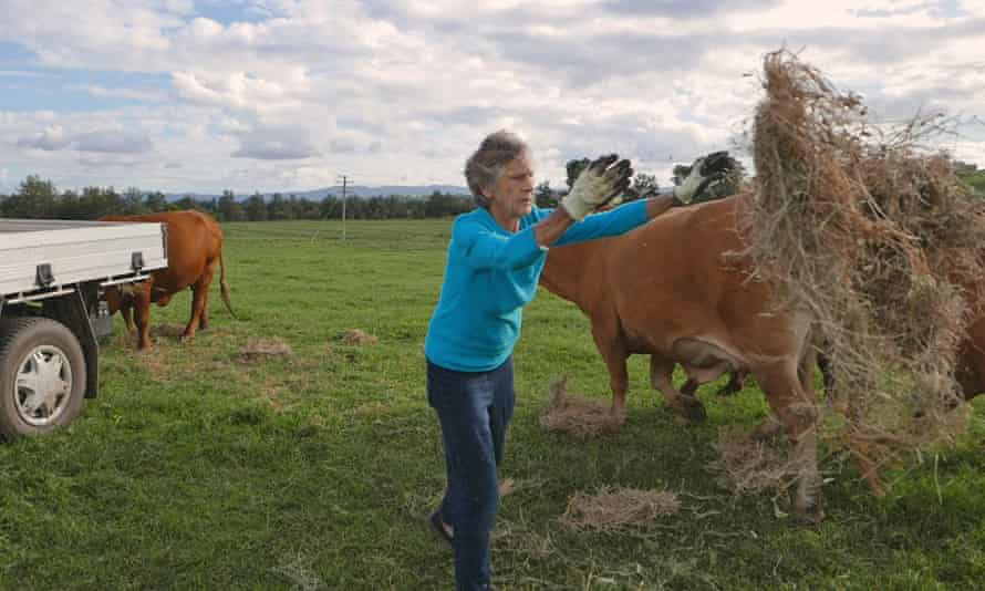 Bowman feeds her cattle