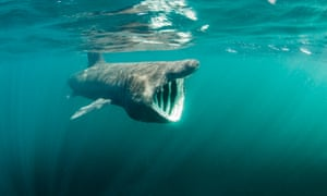Like their tropical relatives, basking sharks are now forming part of the eco-tourism business.