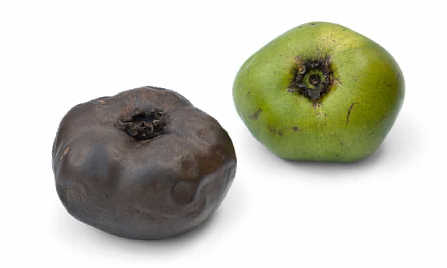 Black sapote is best consumed when the outside of the fruit looks past its prime. When ripe (left) it looks bruised and shrivelled. When unripe it is firm, bright green and very unpalatable.