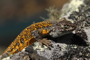 A new species of lizard from the Liolaemus genus, one of several new animal species discovered by scientists on an expedition through Madidi National Park in Bolivia