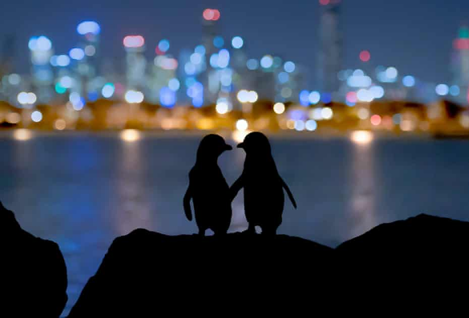 Two little blue penguins (Eudyptula minor), the world's smallest penguin species, on the rocks of St Kilda breakwater
