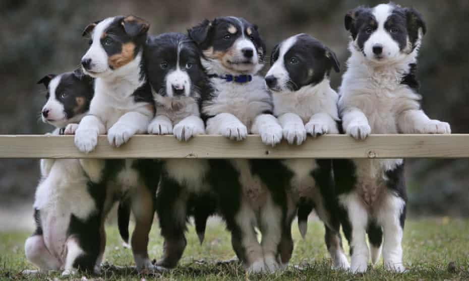 Border collie puppies in north Devon
