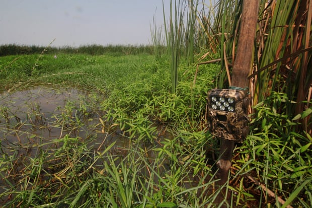 A camera trap installed in an area of Chilika known to be frequented by fishing cats. Photograph: Partha Dey