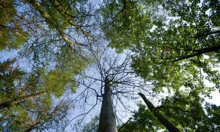Beech trees in a forest in Warburg, western Germany