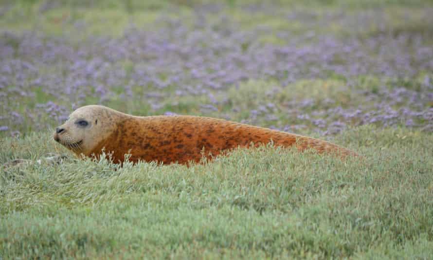 Seal, basking on land, spotted along the Essex coast, England, UK.