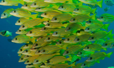 Palau's marine sanctuary is twice the size of Mexico and aims to protect the country's coral reefs and reef fish, such as snapper grunt (pictured).