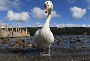 A swan at Coniston Water in the English Lake District in Cumbria, UK