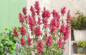 Agastache 'Red Fortune'.