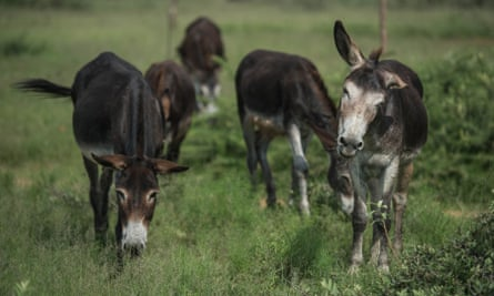 Donkeys graze in Magosane village, in South Africa's North West province.