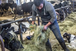 Carlos at work, tending to cows in Vermont.