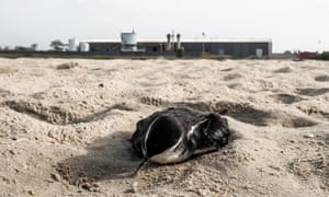 A dead bird lies on the beach in front of JXYG Chinese fishmeal factory, October 2018, in Kartong village