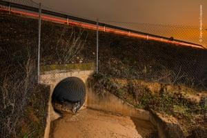 Iberian lynx uses a tunnel