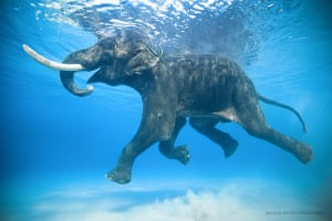 Jody Macdonald: Rajan Swimming. Rajan, an Asian elephant, was brought to the Andaman Islands in the 1950s to help extract timber from the jungle