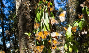 Monarch butterflies in Michoacan state, Mexico