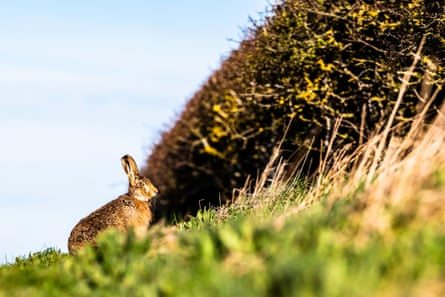 A European hare, also known as the brown hare (Lepus Europaeus)