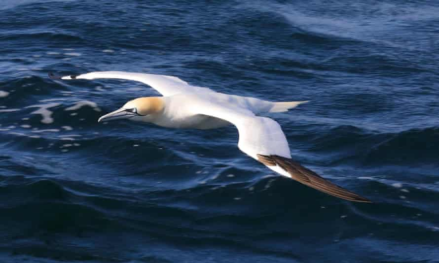 A gannet in flight ... Photograph: Kevin Rushby for the Guardian
