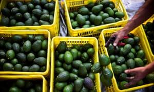 Avocados in Michoacán, Mexico.
