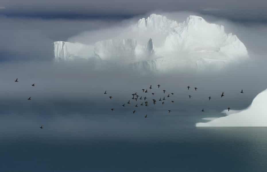 Little auks in Greenland