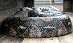 A reticulated python