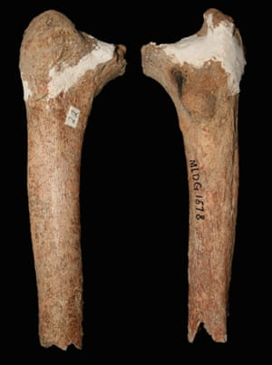 The 14,000 year old pre-modern thigh bone from the Red Deer Cave people.