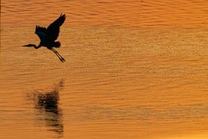 A grey heron flies at sunrise at Lake Kerkini national park in Greece