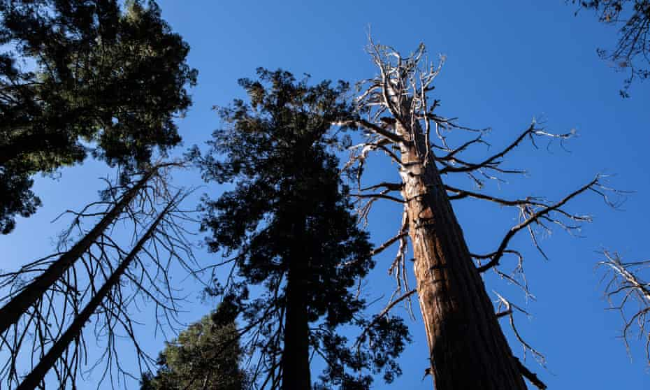 Twenty-eight giant sequoias have died from an interaction between bark beetles, drought stress and fire since 2014, according to a joint National Park Service and US Geological Survey study to be published later this year.
