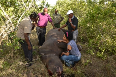 A black rhino killed by poachers at Ol Pejeta Conservancy in Kenya in March 2014. Even rhinos in heavily guarded private game reserves are at risk.