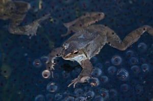 Common frog in frogspawn