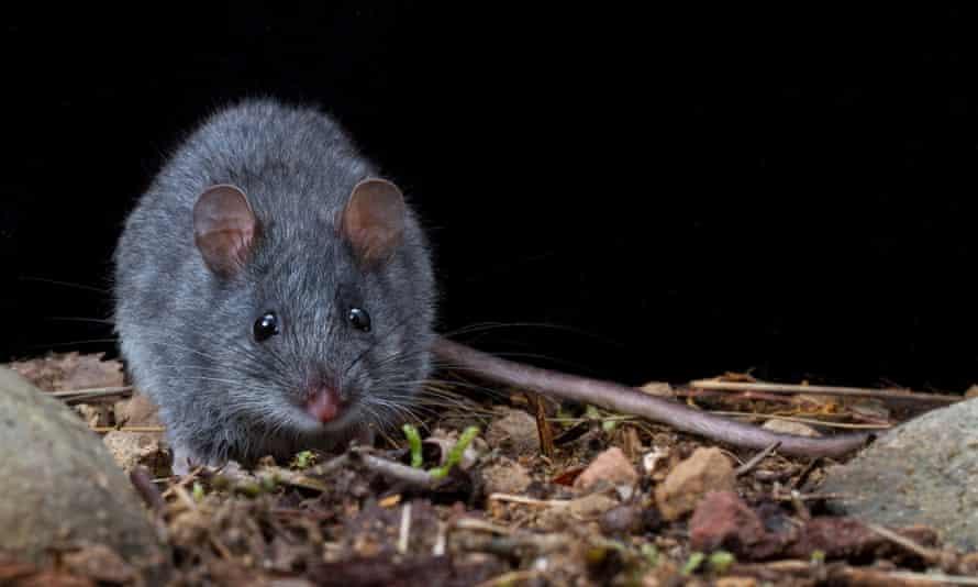 Smoky mouse