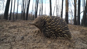 An echidna in a burned area of an Australian forest