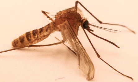 Culex Pipiens Molestus (The London Underground mosquito) developed in the tunnels of the Tube.
