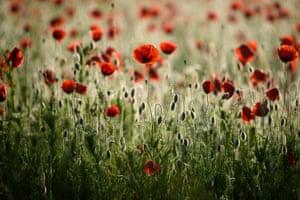 A common poppy field near Soshartyan, Hungary