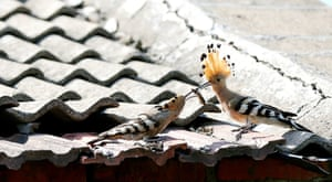 Hoopoes symbolise peace and happiness.