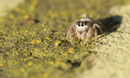 A Tower Hamlets spider in Brompton Cemetery, west London. This jumping spider was first spotted in the East End's Mile End Park in 2002