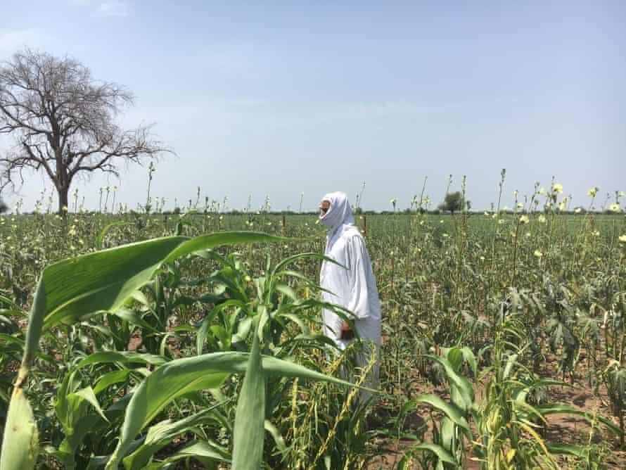 A farmer checks fields of sorghum, sesame and maize in Gedaref state