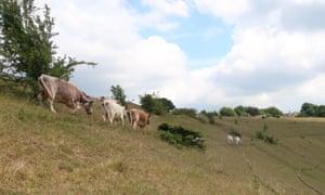 Cattle graze on Rodborough Common