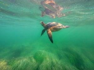 An East Pacific green sea turtle swims in La Jolla Cove, San Diego, California, US.