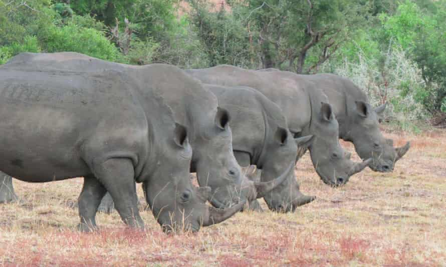 """Rhino in a row in Kruger National Park, South Africa. """"The park is a hotspot for rhino poaching."""